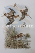 tableau animaux chasse animaux oiseaux becassines : Bécassines