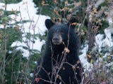 A Black Bear Looks Out of a Forest While Hunting for Food - Taylor S. Kennedy