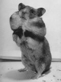 Close Up of Hamster Standing on Its Hind Legs at Chicago University - Wallace Kirkland