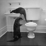 Otters Playing in Bathroom - Wallace Kirkland