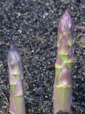 Asparagus Stems Emerging from the Soil (Asparagus Officinalis), Mary Washington Variety - Wally Eberhart
