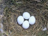 Eastern Phoebe Nest with Four Eggs (Sayornis Phoebe), Eastern North America - Wally Eberhart