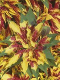 Joseph's Coat Variegated Leaves (Amaranthus Tricolor) - Wally Eberhart