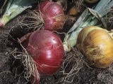 Onions Pulled and Set Out to Dry (Allium Cepa) - Wally Eberhart
