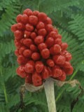Seeds or Fruit of Jack-In-The-Pulpit (Arisaema Stewardsonii) - Wally Eberhart