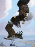 Bald Eagle Bullies Osprey in Flight to Force it to Give Up its Catch - Walter Weber