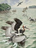 Eastern Brown Pelicans Dive for Fish and Squabble over their Catch - Walter Weber