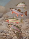 Four Species of Trout, Rarely Seen Together, Depicted in Wind River - Walter Weber