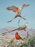 Scissor-Tailed and Vermilion Flycatchers Perch on a Mesquite Tree - Walter Weber