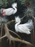 Snowy Egrets Display their Courtship Plumage in a Mangrove Swamp - Walter Weber