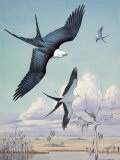 Three Swallow-Tailed Kite Birds Soar over Southern Swamp Land - Walter Weber