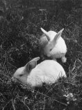 Two White Rabbits Nestled in Grass, at White Horse Ranch - William C. Shrout