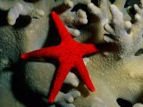 A Brilliant Red Starfish Rests on a Coral - Wolcott Henry