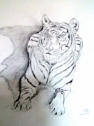 dessin animaux animaux sauvages tigre : Tigre