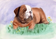 dessin animaux bouledogue bulldog chiens animaux : Bouledogue/bulldog/chien