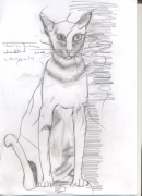 dessin animaux chat oriental felin race : LE CHAT ORIENTAL