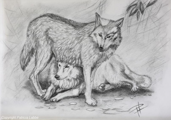 Dessin Loup Gevaudan Sauvage Amerique Tendre Complicite De Loups