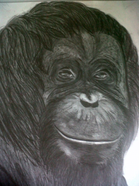 DESSIN singes Animaux Crayon  - orang outang