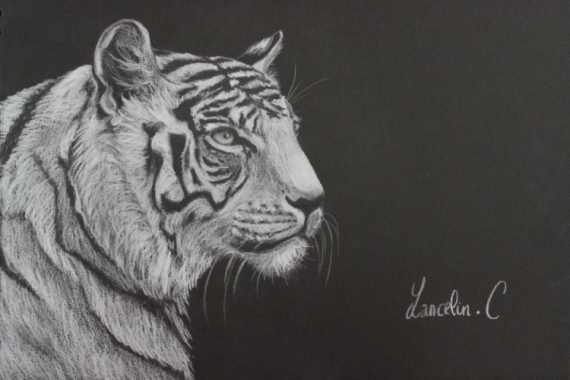 Dessin Tigre Blanc Noir Crayon Tigre Blanc