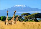 Poster / Toile / Tableau verre acrylique Three giraffes in front of Kilimanjaro