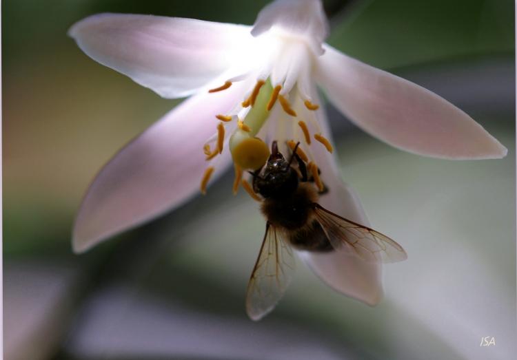 PHOTO abeille butine fleur lumière - Abeille et fleur lumière