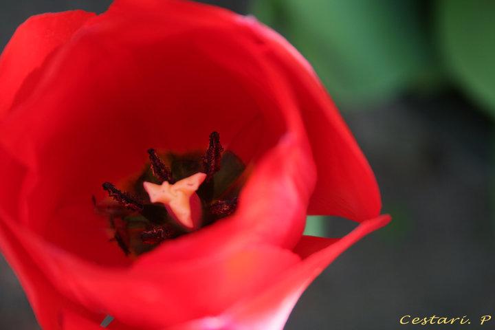 PHOTO tulipe pistile - Tulipe