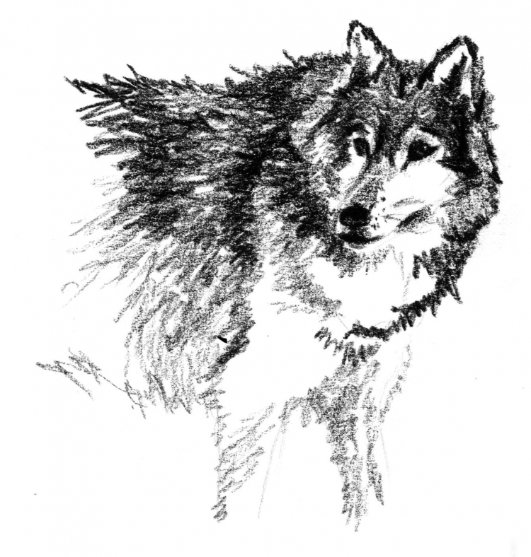 Dessin Animaux Crayon Loup Xvii