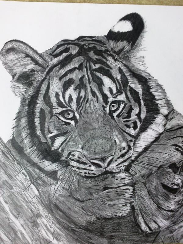 Dessin Félin Animaux Crayon Tigre