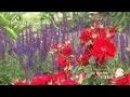 Le rosier Vittel - Jardinerie Truffaut TV