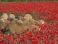 03 - PROVENCE : Coquelicots et prairies fleuries