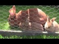 Elevage des lapins en extérieur