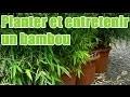 Comment planter et entretenir un bambou pour balcon ?