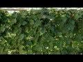 Haricots verts ! Un mur Géant vertical de Haricots Verts de 2m50 dans un jardin !