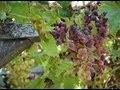 Planter un pied de raisin de table en treille
