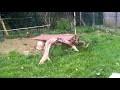Volière finie et nouveaux arrivants faisans dorés ( vidéo courte)