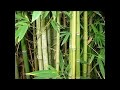 Bambou, plante médicinale