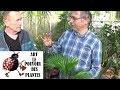 Tuto jardinage:palmier livistona:Comment faire l'entretien et l'arrosage:plante verte d'intérieur