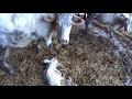 Une vache défend son veau