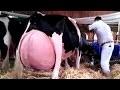 8 Races De Vaches Qui Sont Uniques Au Monde