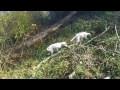 chasse d'exeption aux faisans avec chien d'arrêt