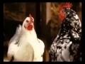 La poule aux voix d'or Coq version 4 TB