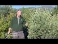 Comment tailler un olivier ?