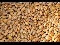 Nourriture des Poules : recette très facile et économique