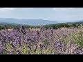 La Lavande fine de Provence Bio, un produit d'exception Aroma-Zone