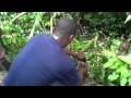 Comment capturer un rat ou agouti dans la brousse?