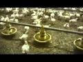 Elevage de poulets de chair en France