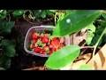 Une oasis de fraises et de raisins