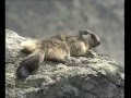 La  Marmotte - Documentaire Animalier