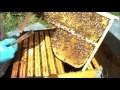 Piégeage du varroa dans le couvain de mâles.