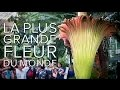 Phallus de Titan : la plus grande plante au monde (et qui pue) | Futura